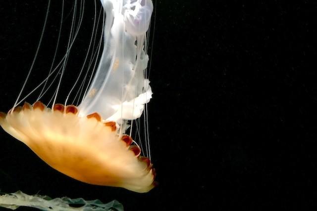 Jellyfishes @ Monterey Aquarium